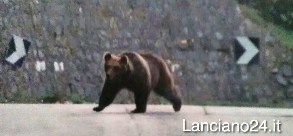 Avvistato orso bruno marsicano a Palena